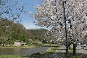 満開の桜と連鯉、復元住居